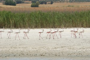Flamingos in Pétrola, Albacete