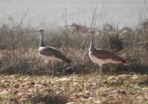 great bustard albacete spain