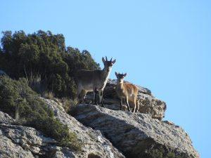 cabras-birding-albacete